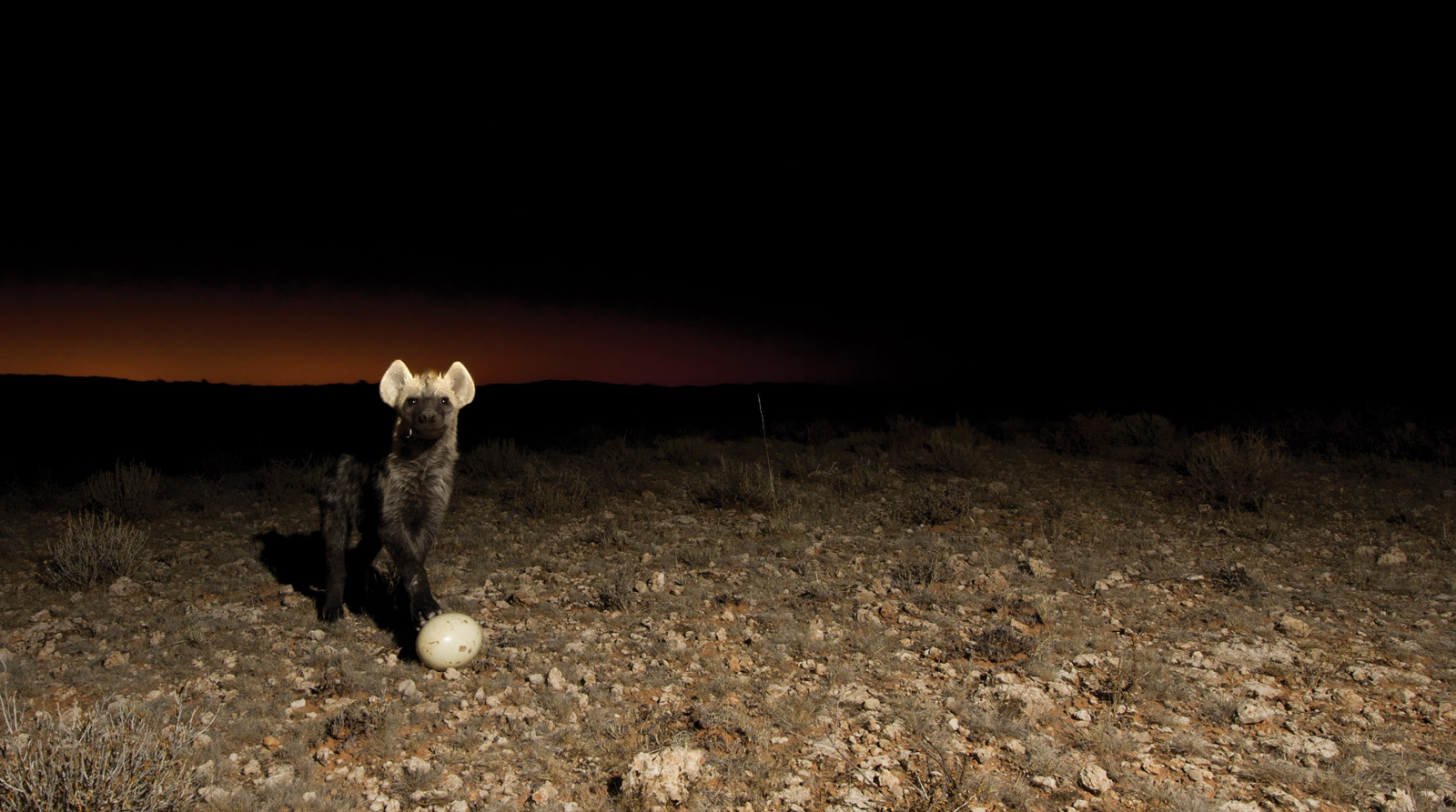 Hannes-Lochner-Kalahari-hyena-egg