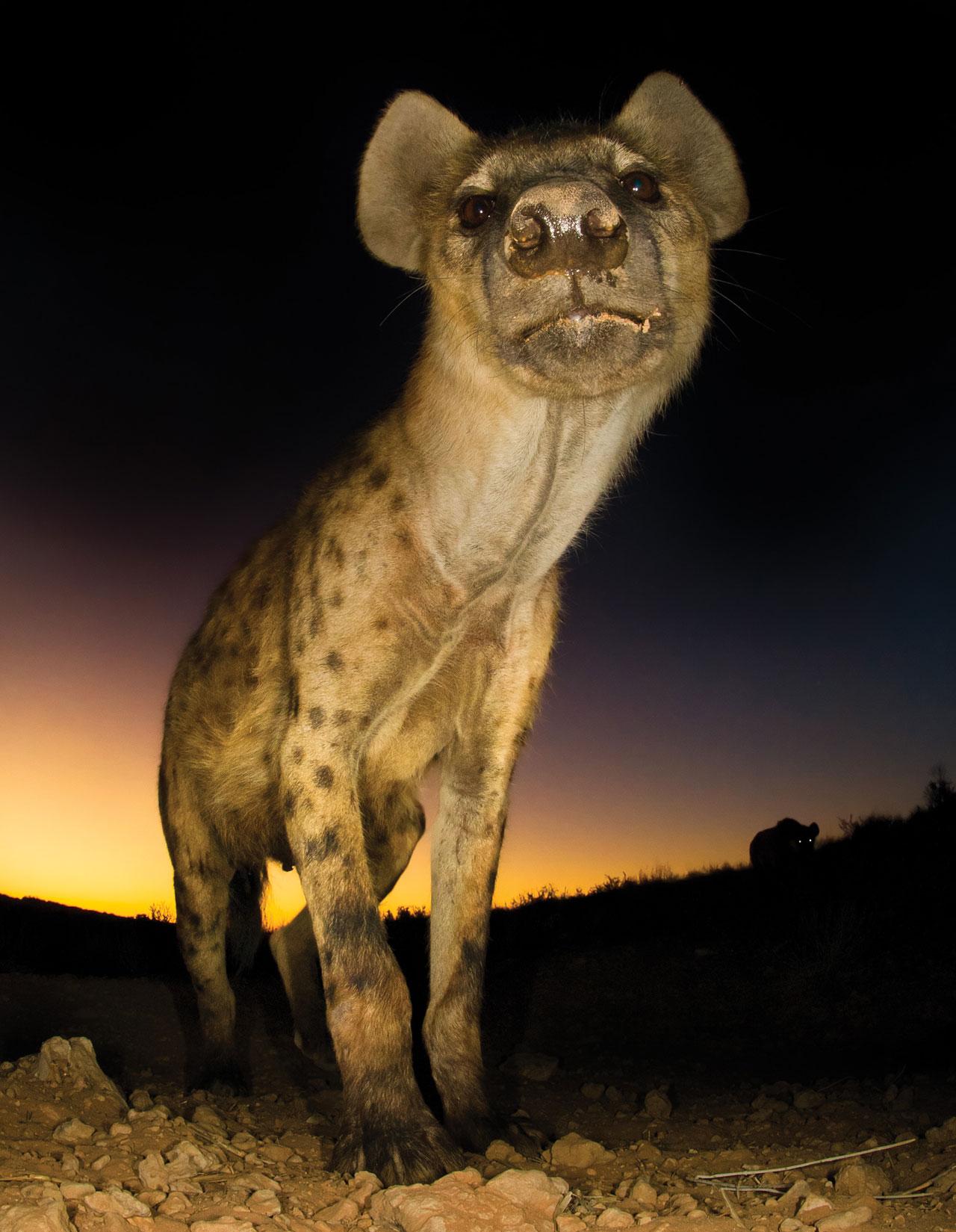Hannes-Lochner-Kalahari-hyena-guard