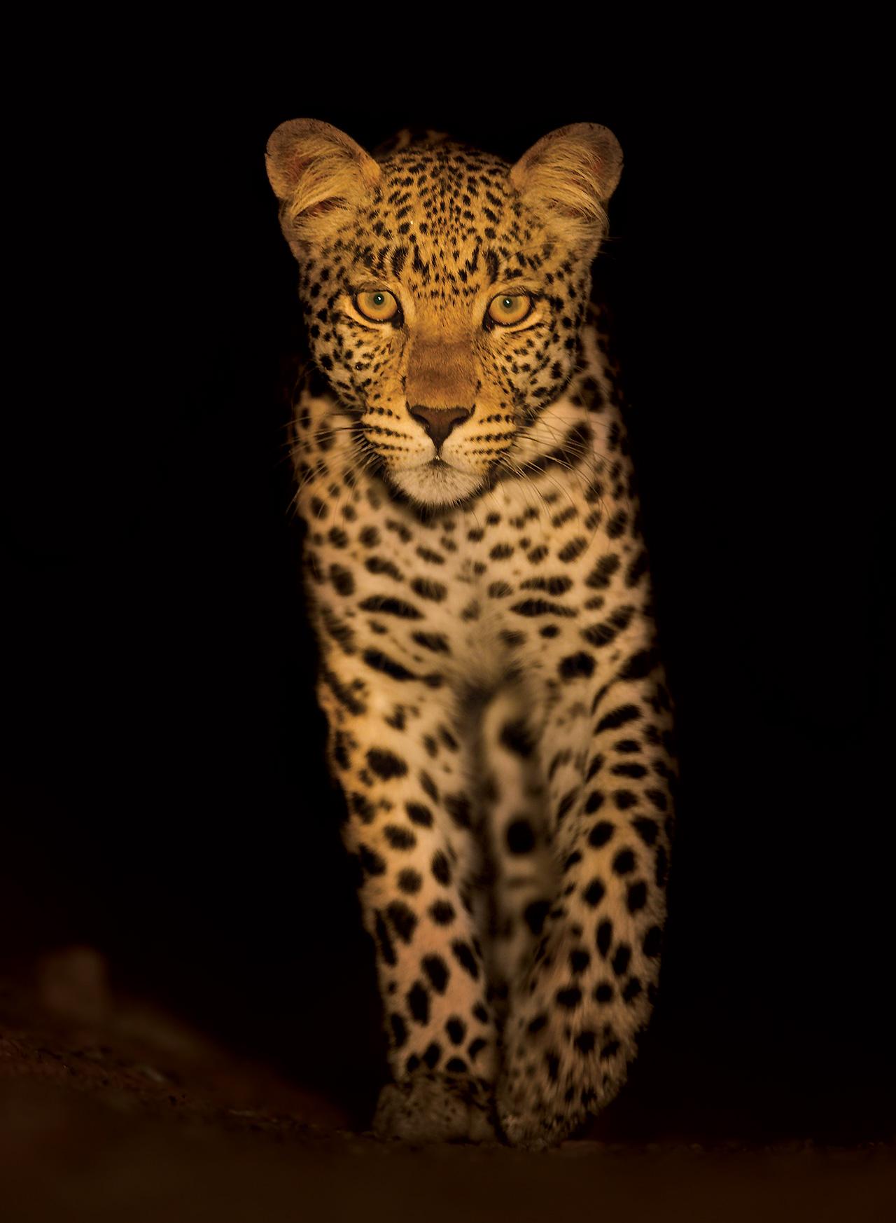 Hannes-Lochner-Kalahari-leopard-walking