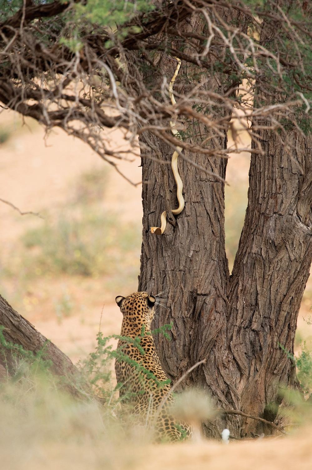 Leopard-and-snake-hannes-lochner