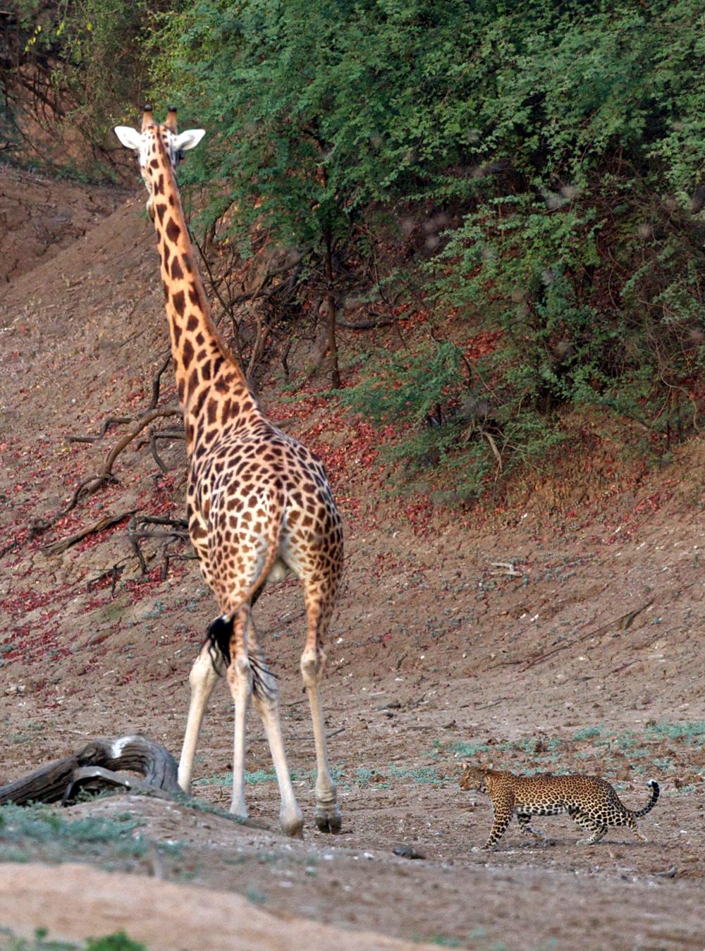 Michael-Lorentz---Zakouma-leopard-giraffe
