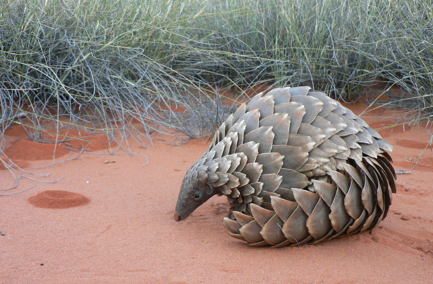 Bien connu The pangolin is the world's most trafficked animal. It's currently  WQ61