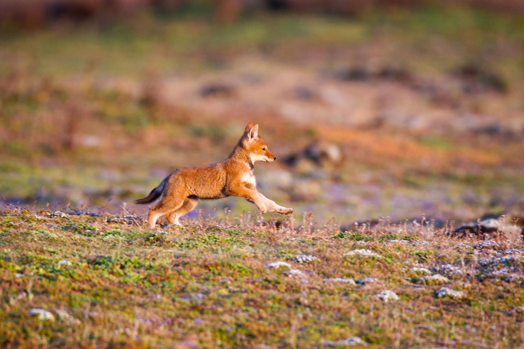 Ehtiopian-wolf-will-burrard-lucas-12