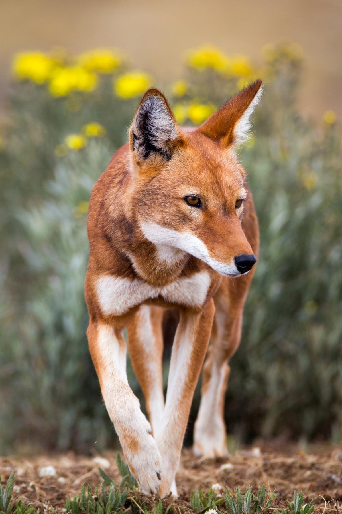Ehtiopian-wolf-will-burrard-lucas-3