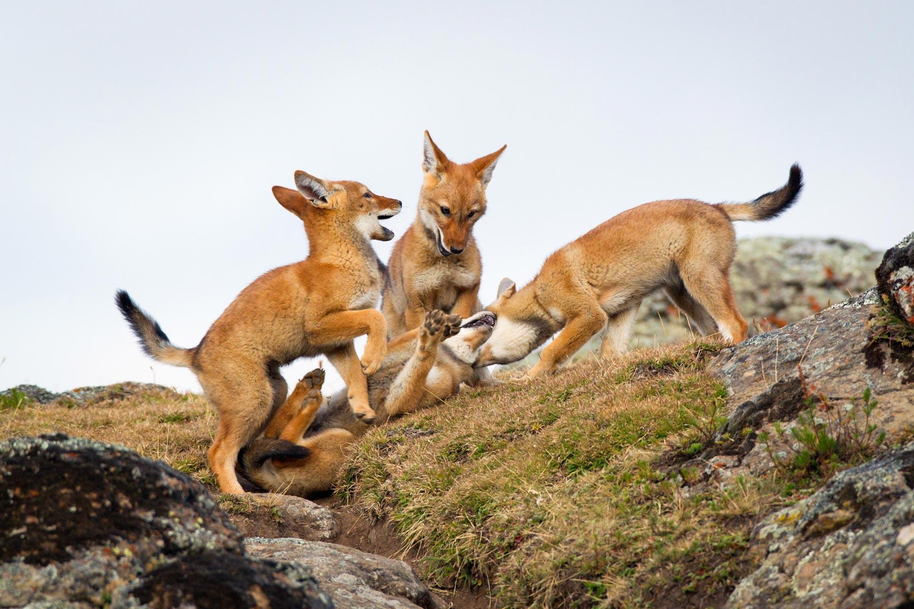 Ehtiopian-wolf-will-burrard-lucas-9