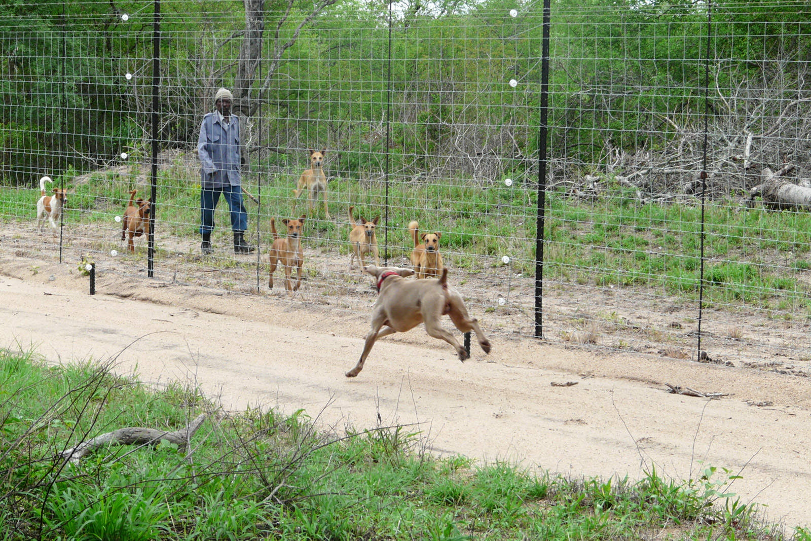 Hunting-pack-dogs-conservation-Catherine-Corrett-2