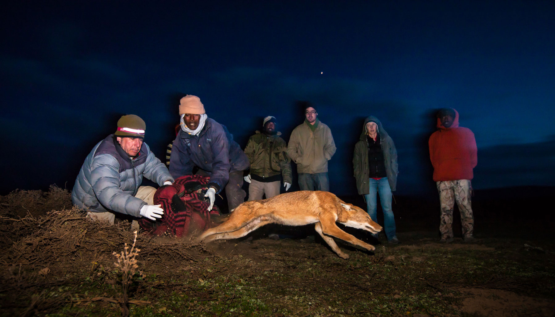 Wolf-release-ethiopia-will-burrard-lucas