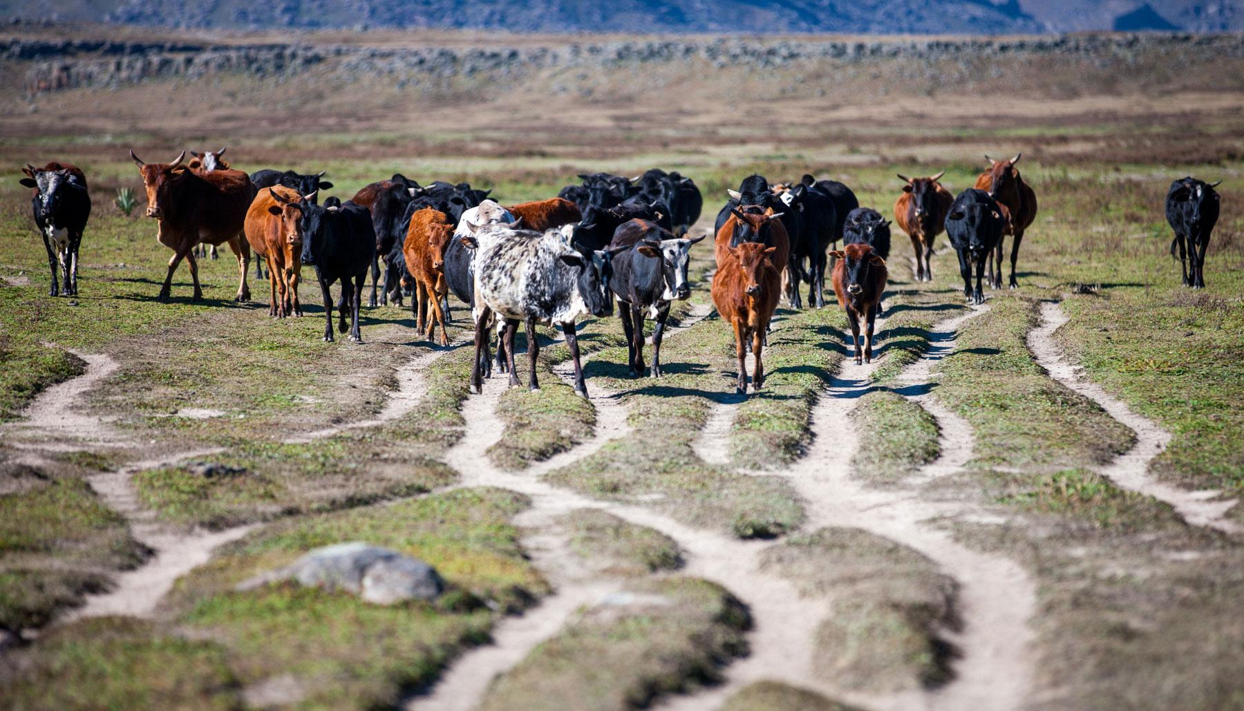 cattle-will-burrard-lucas