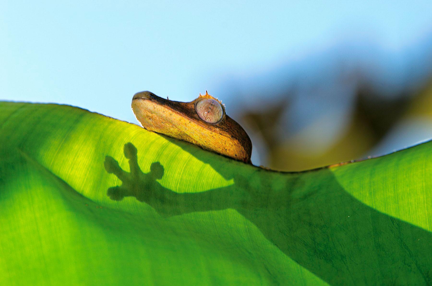 madagascar-gecko-heinrich-van-den-berg