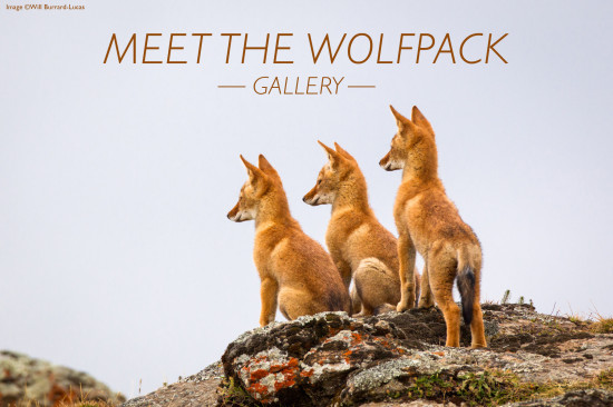 meet-the-wolfpack-header