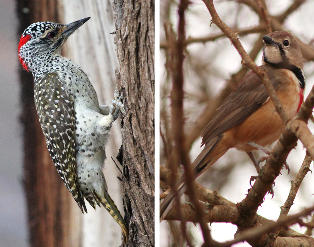 Nubian-woodpecker---rosy-breasted-comp