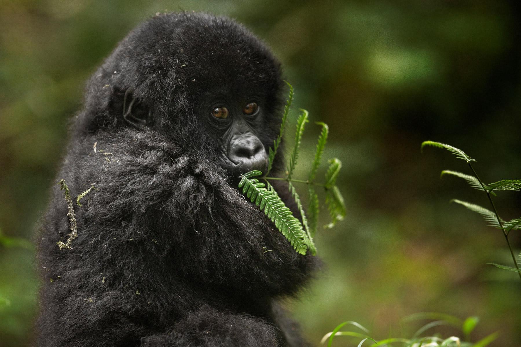 RWANDA_baby_mountain_gorilla_feeding