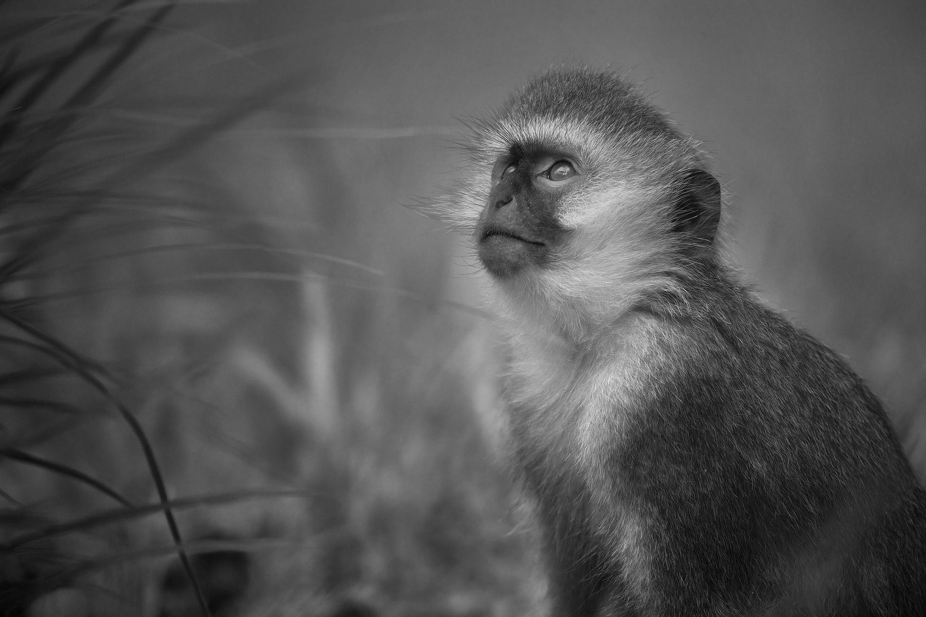 RWANDA_vervet_monkey_v03