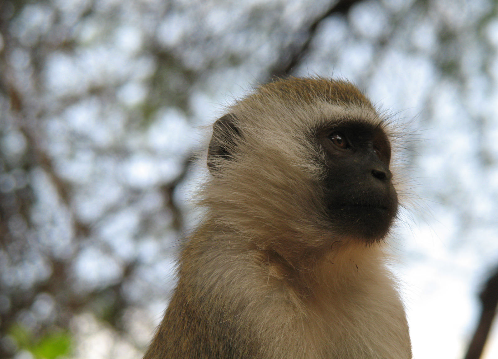 Vervet_monkey_face
