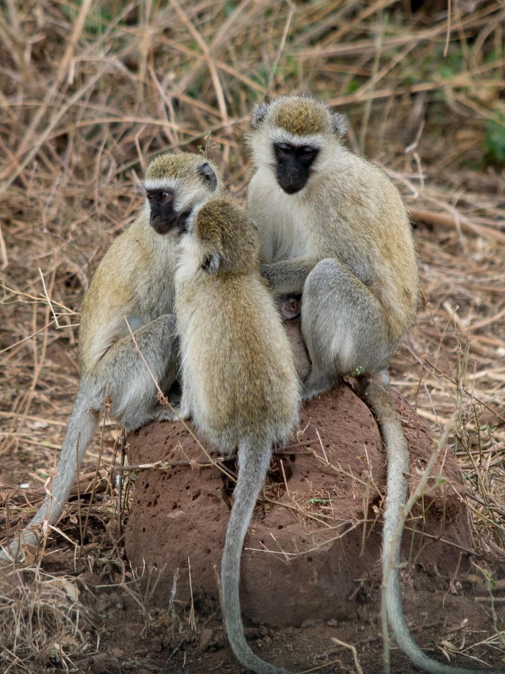 Vervet_monkeys_Manyara