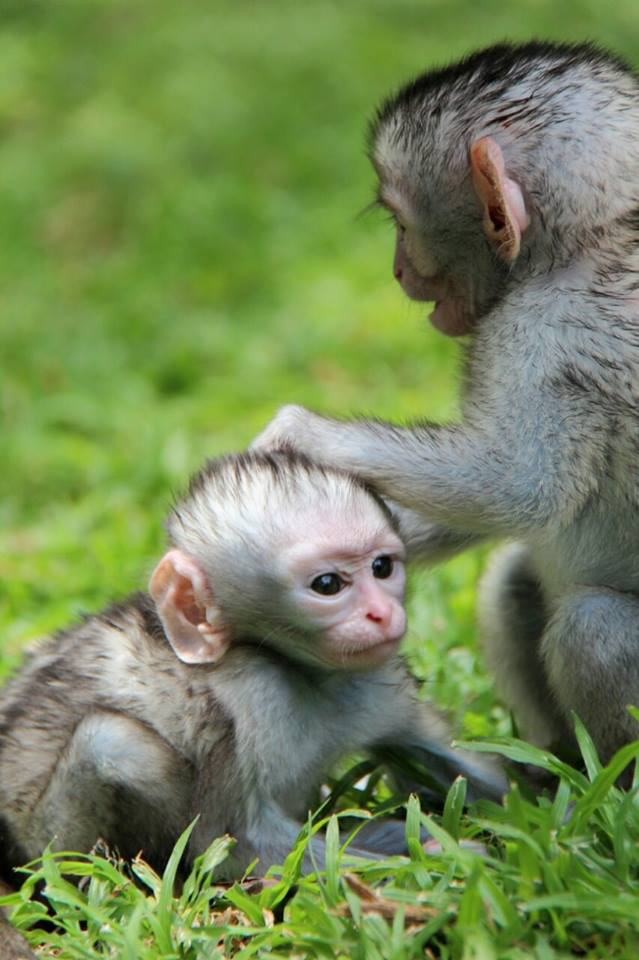 baby-monkeys-at-play