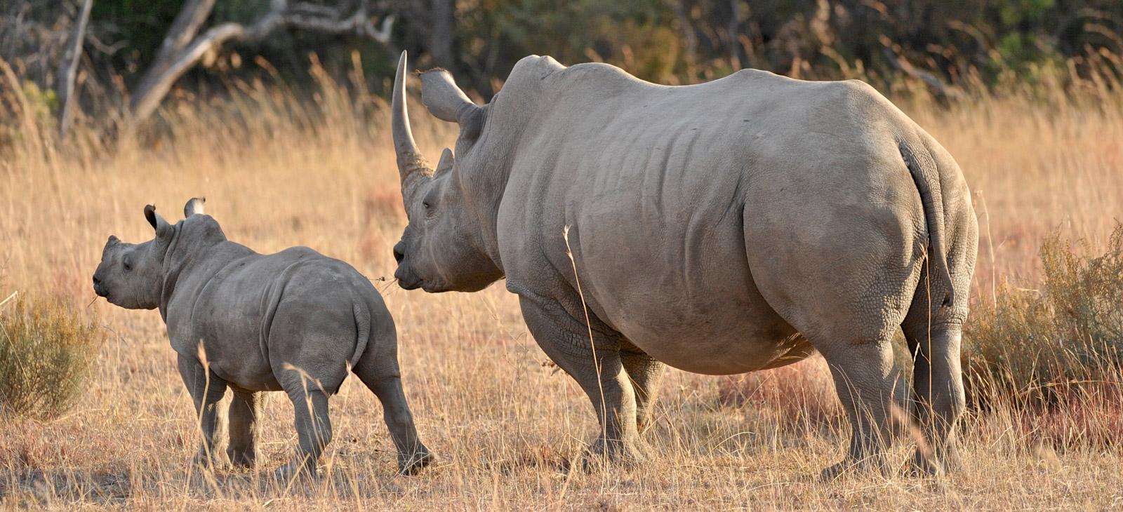 rhino-mother-and-calf-2-Dex-Kotze-