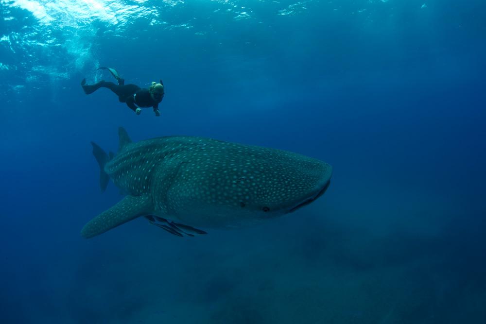 Chole-whale-shark