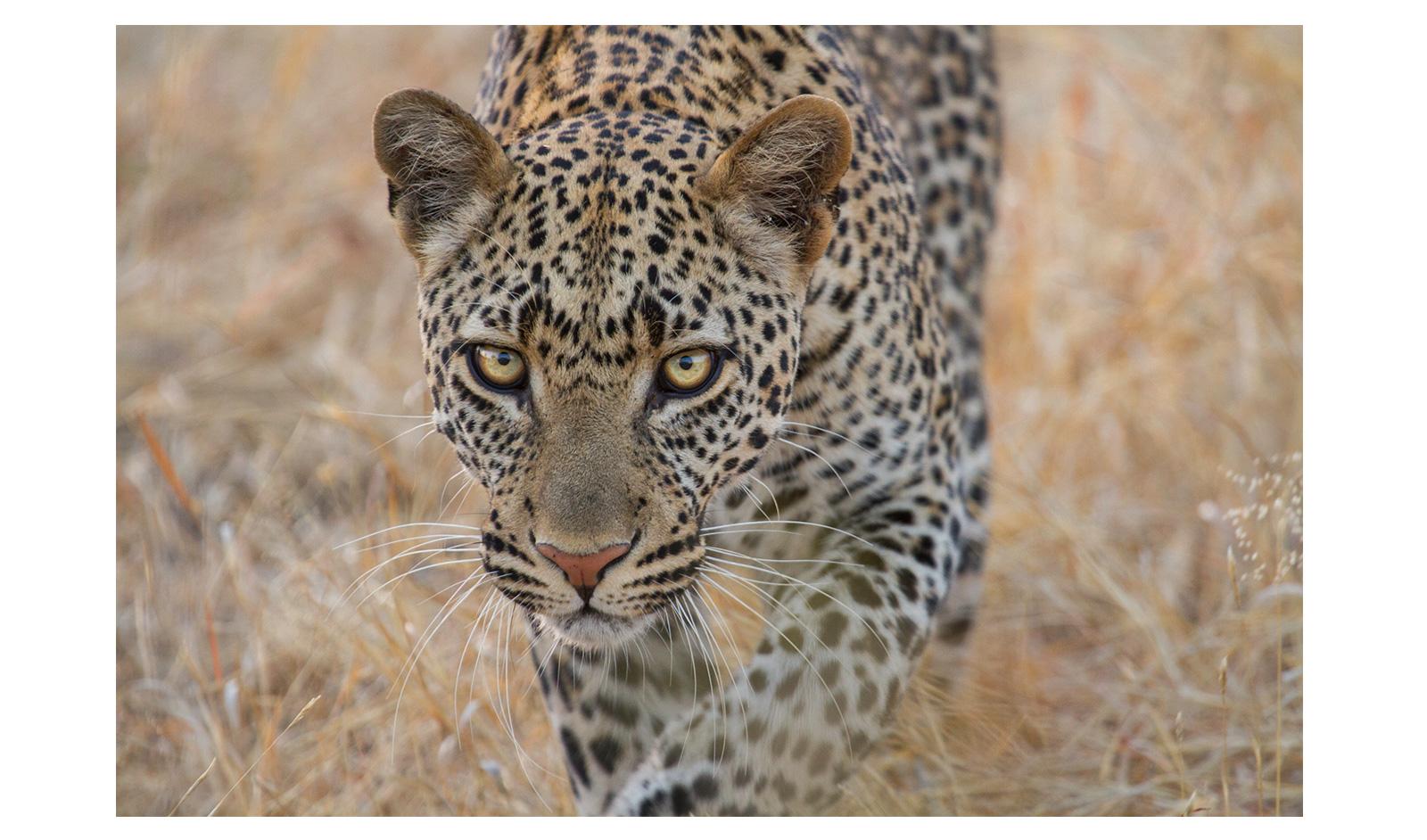 _cameron-anderson-raffan-Ruaha-leopard
