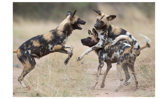 wild-dogs-playing-anton-kruger