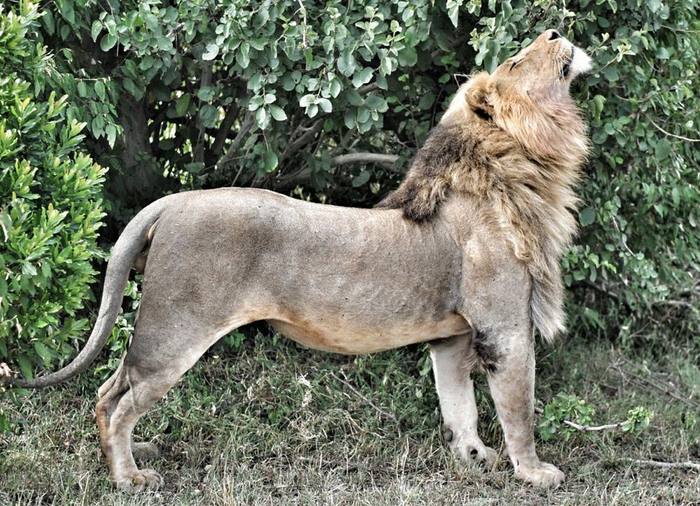 wild-lion