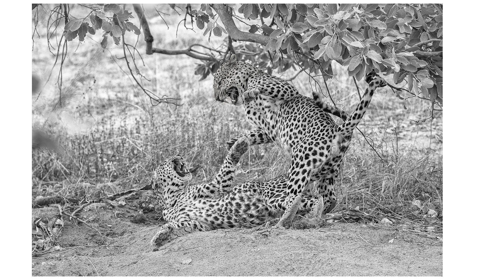 John-Glen-Weaver-leopards-fighting