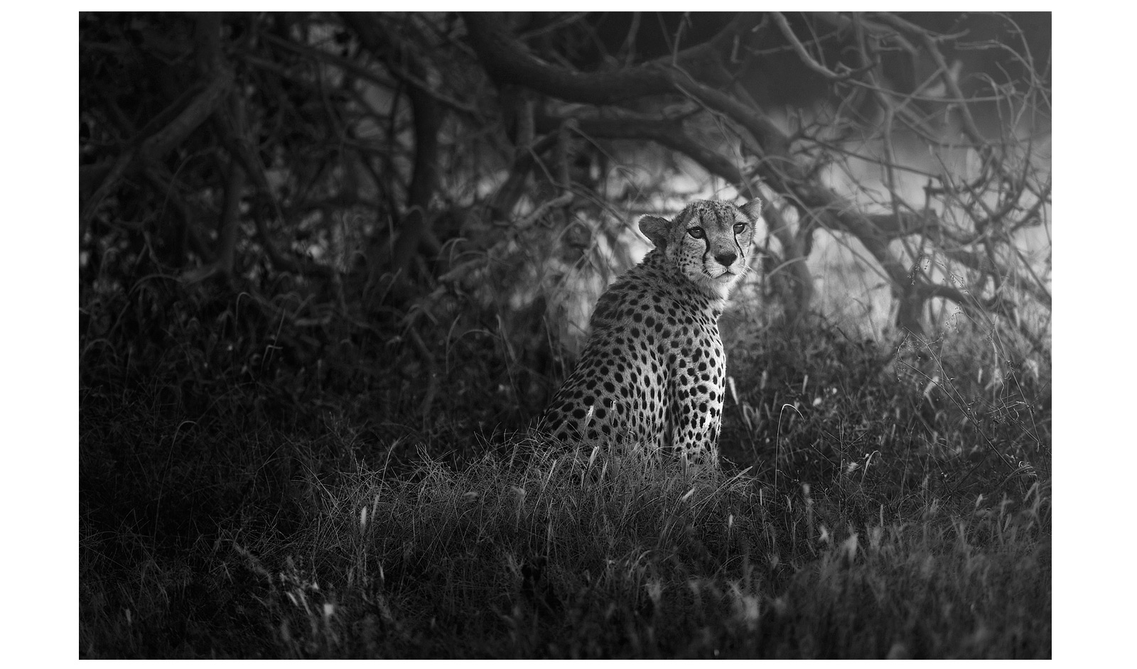KARIM_SAHAI_cheetah_hiding_under_tree,-Samburu-National-Reserve-Kenya