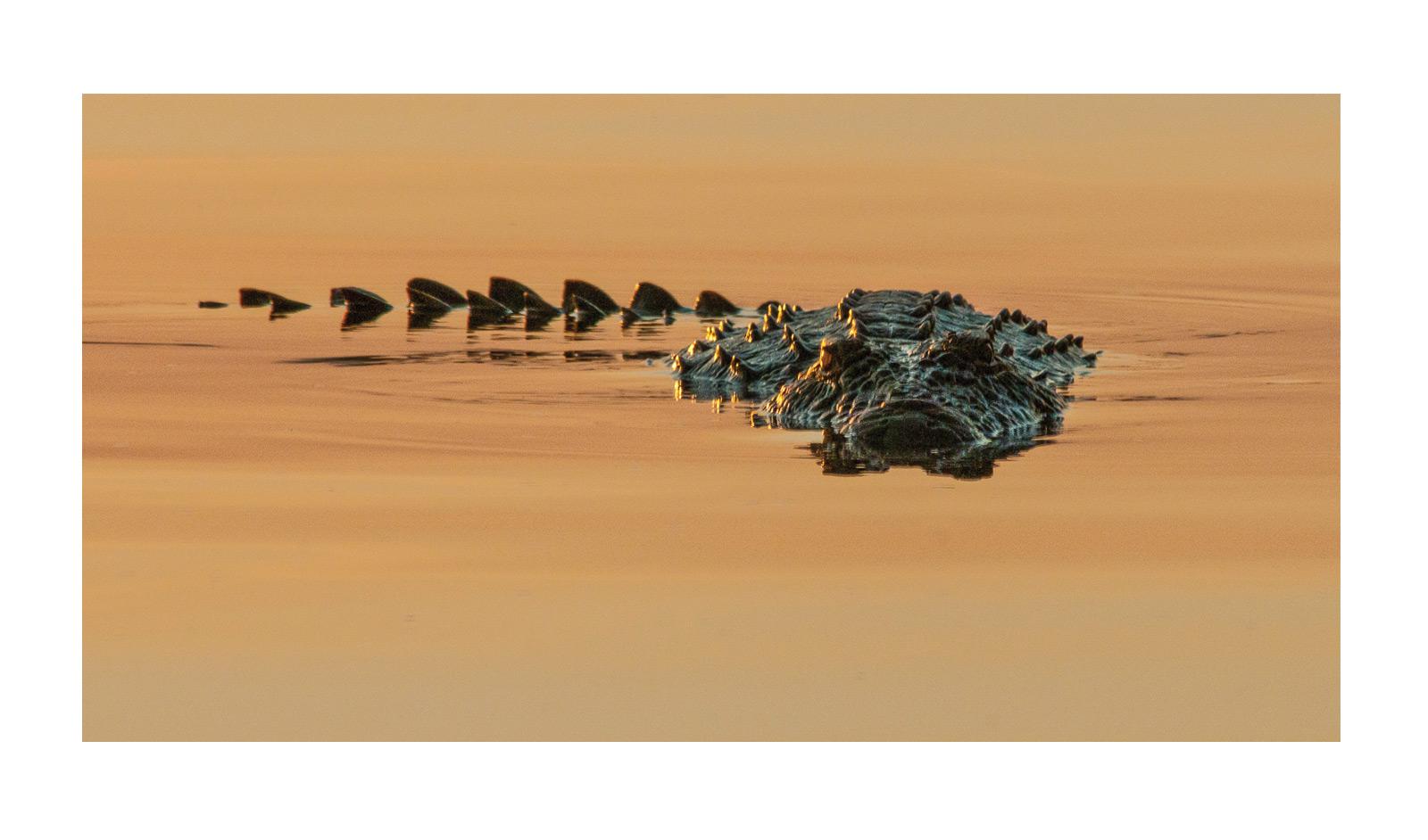 Ronald-Glazier-Zambezi-River-Crocodile-(1-of-1)