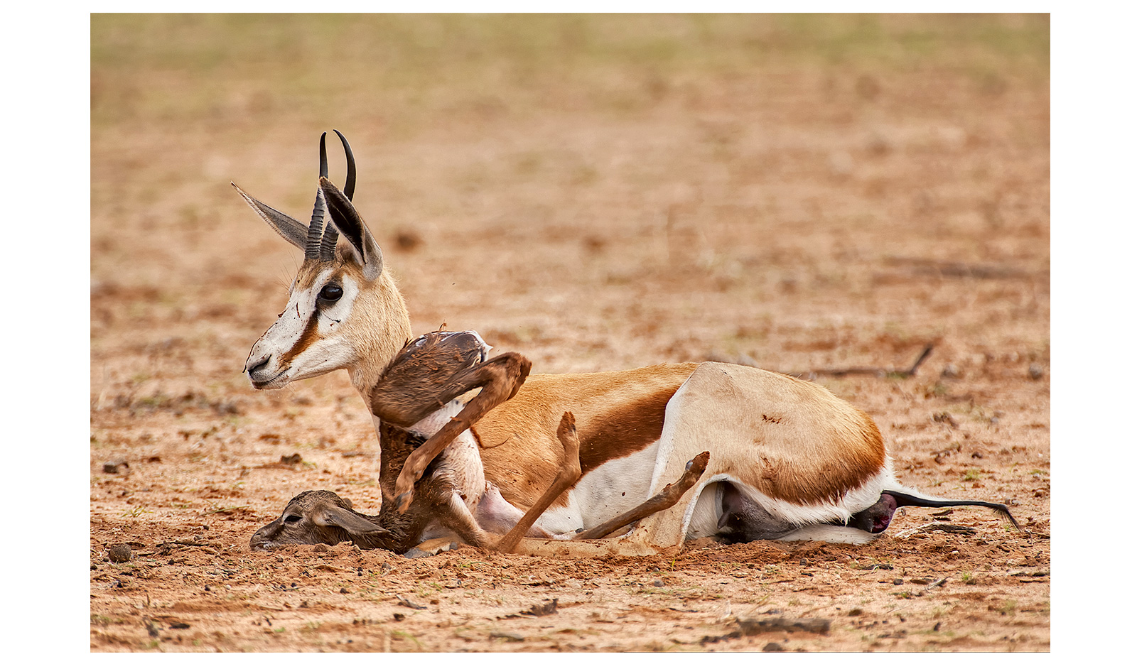 kgalagadi springbok calf