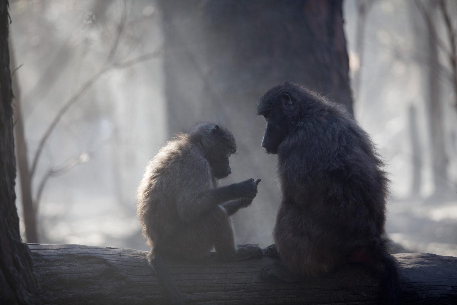 Baboons-cape-fire-jennifer-bruce