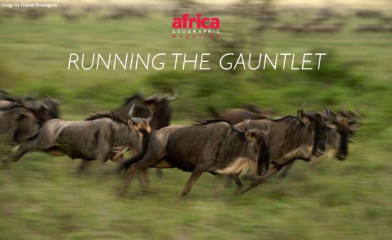 Wildebeest_Migration-daniel-rosengren