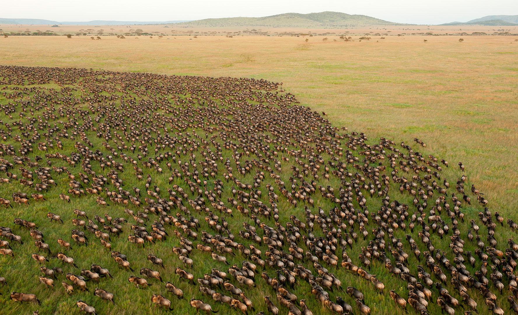 Wildebeest_migration-daniel-rosengren-2