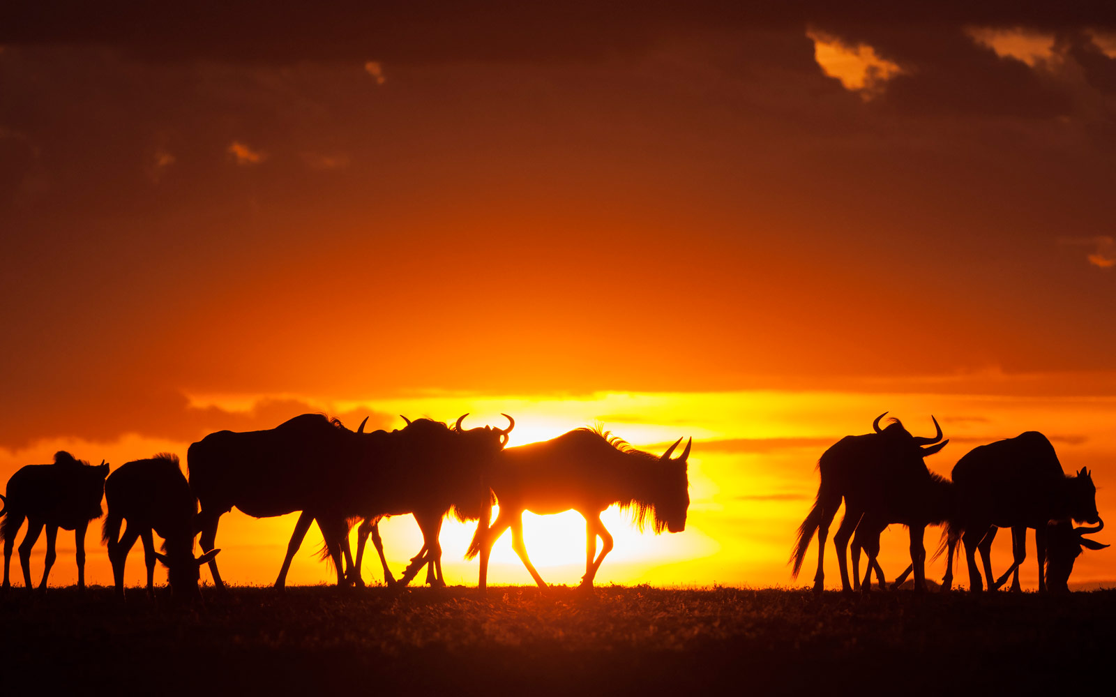 Wildebeest_migration_Sunset-daniel-rosengren