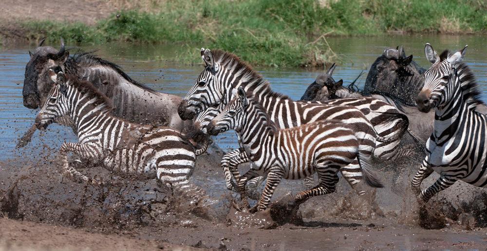 Zebra-migration-serengeti-Daniel-Rosengren