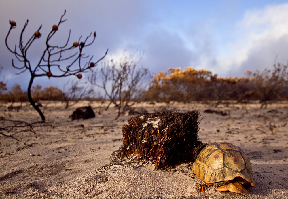 capefire-tortoise-christian-boix