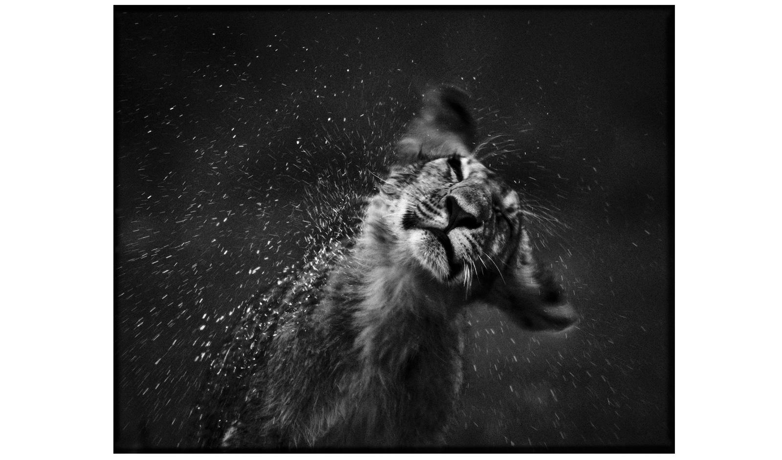 Чёрно белая картинка бобренка 21 фотография