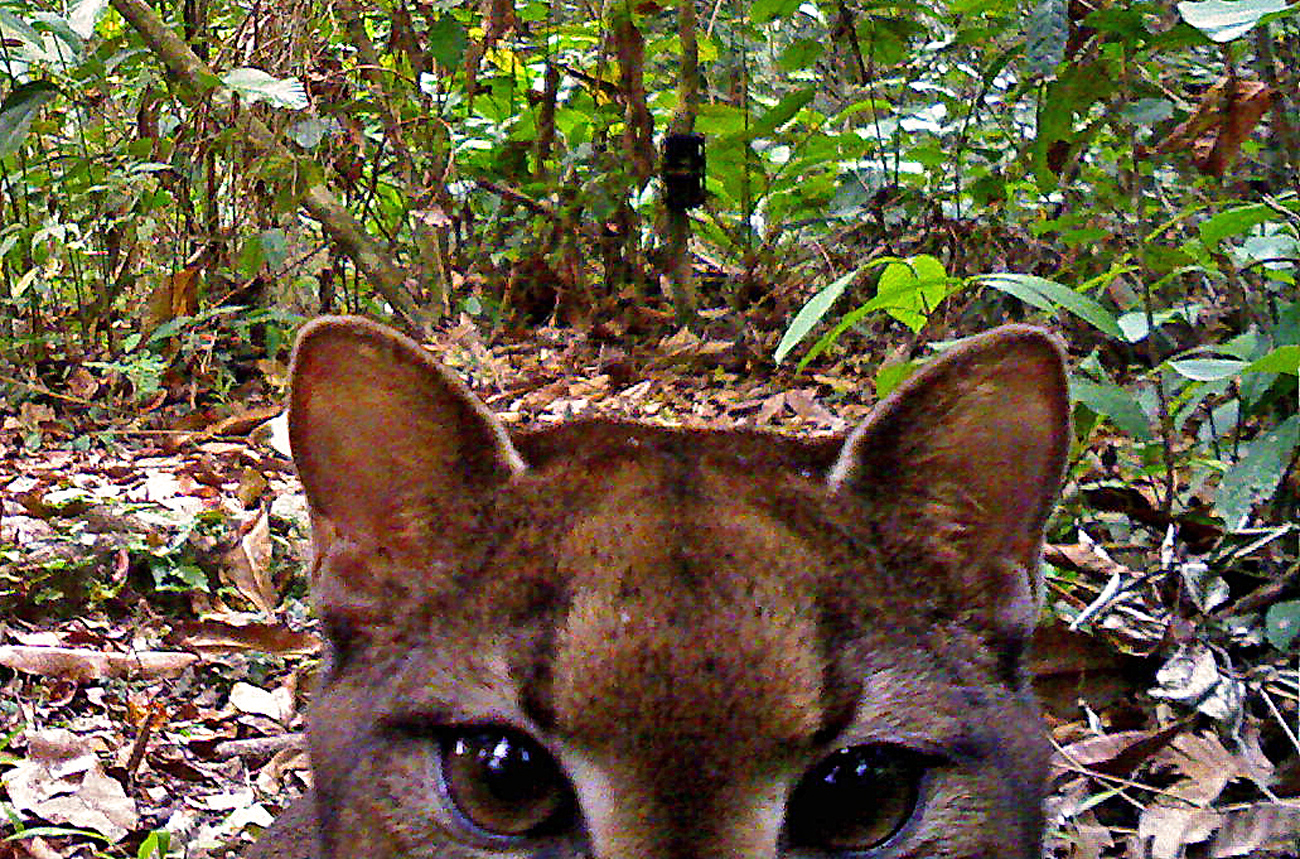 Camera-trap_LBahaa-el-din_African-golden-cat5