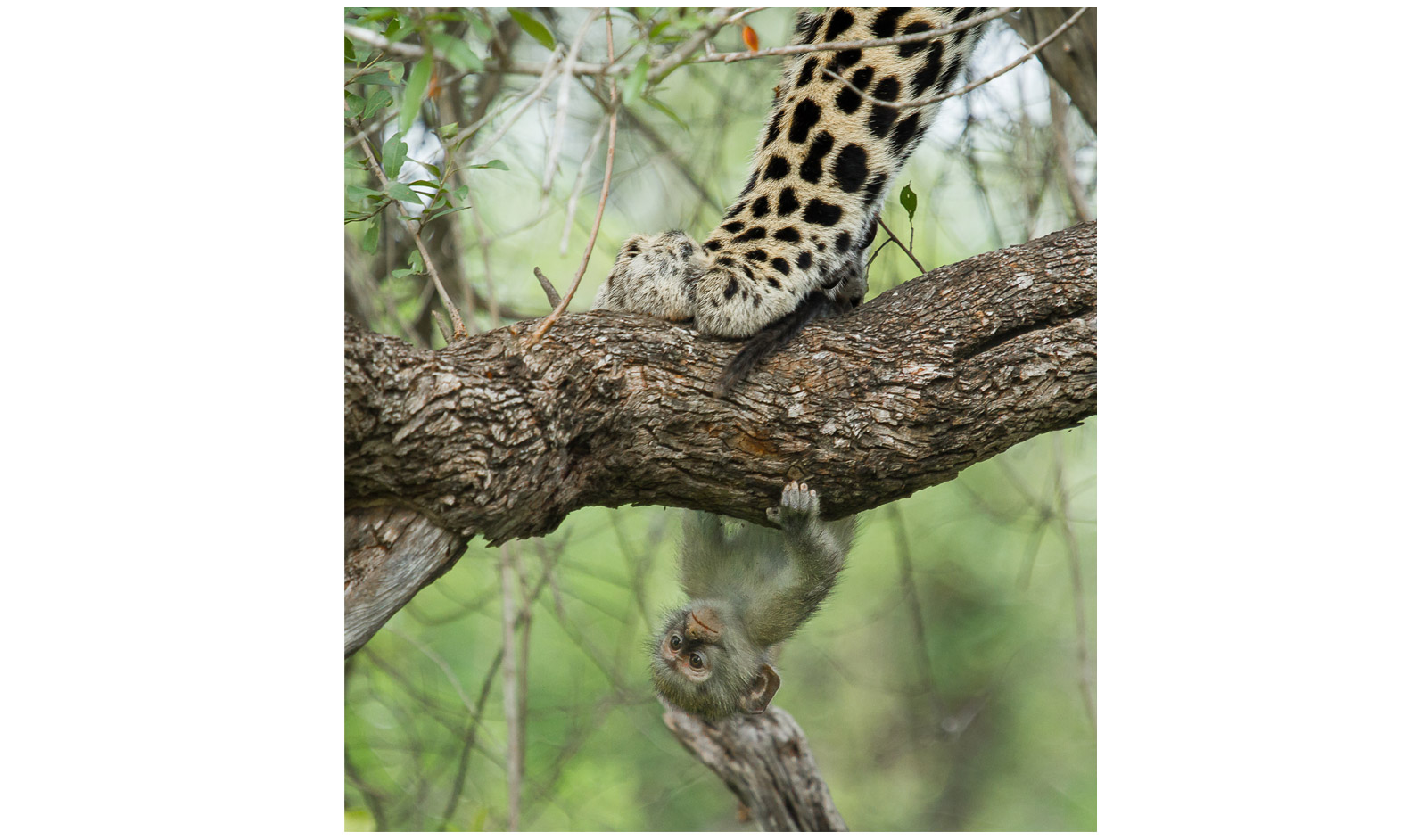 Chris-Renshaw-KrugerNP-monkey-and-leopard