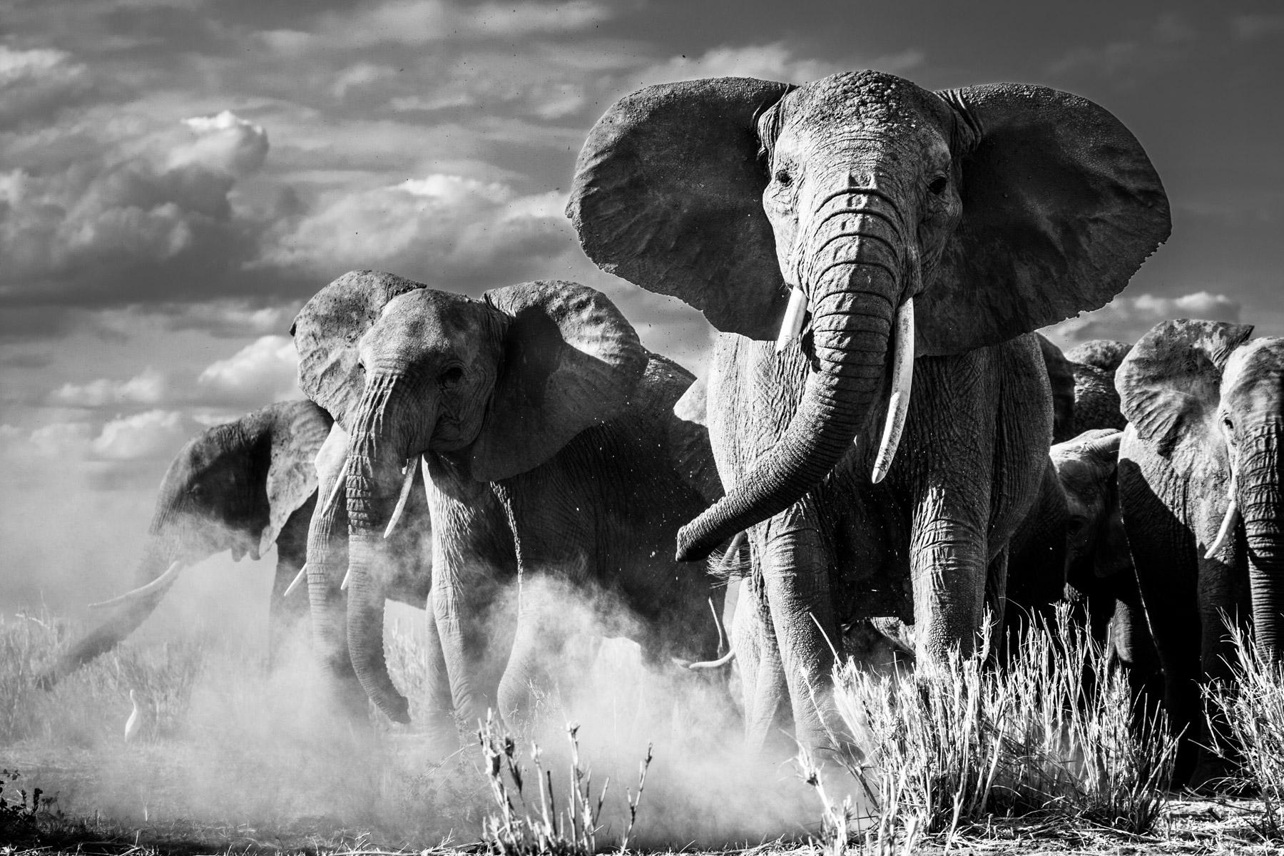 Elephant-mock-charge-Raisinphoto.com-3