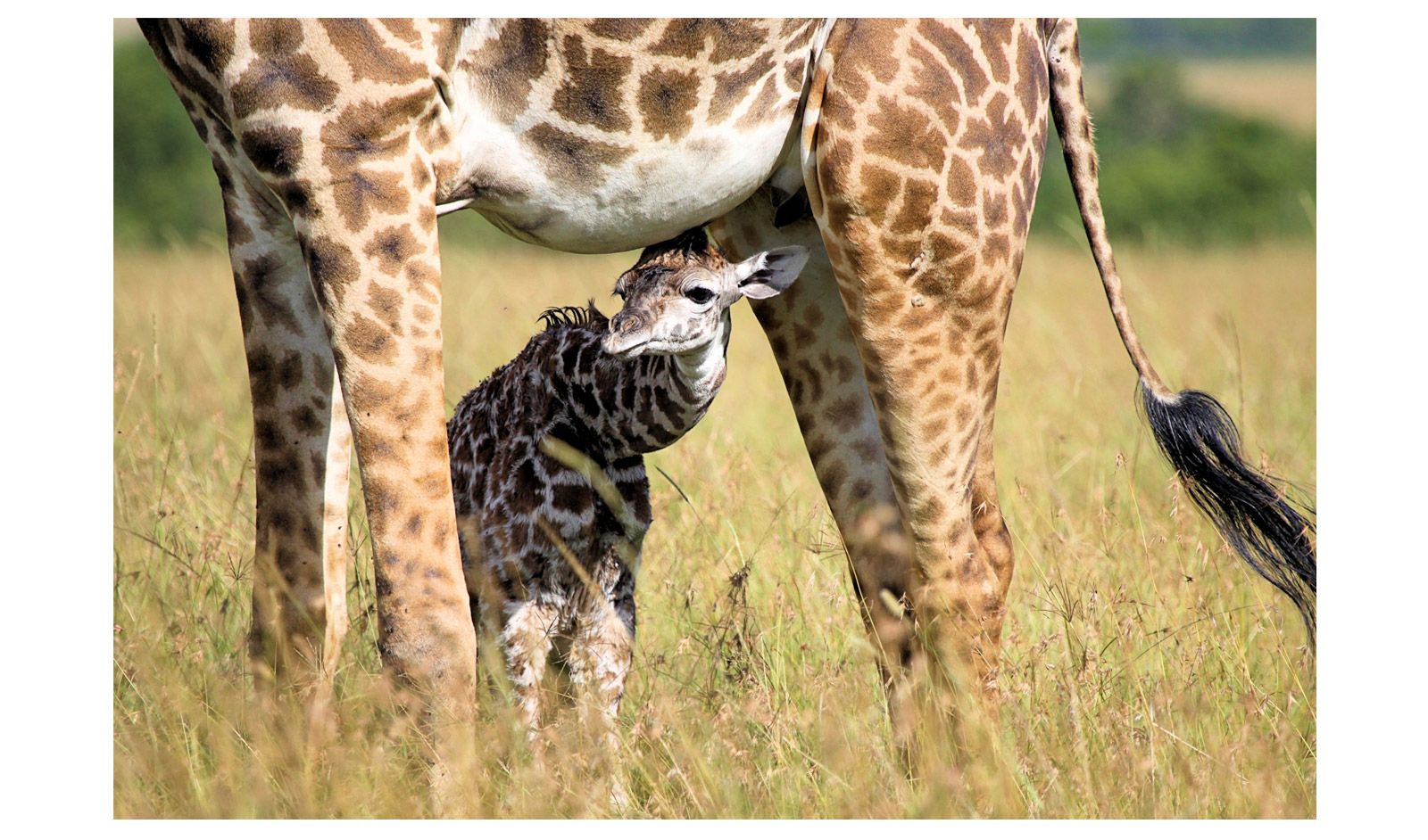 Jet-van-Och_Masai-Mara-newborn-giraffe