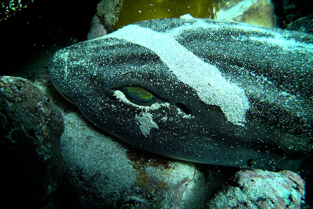 catshark-with-trail