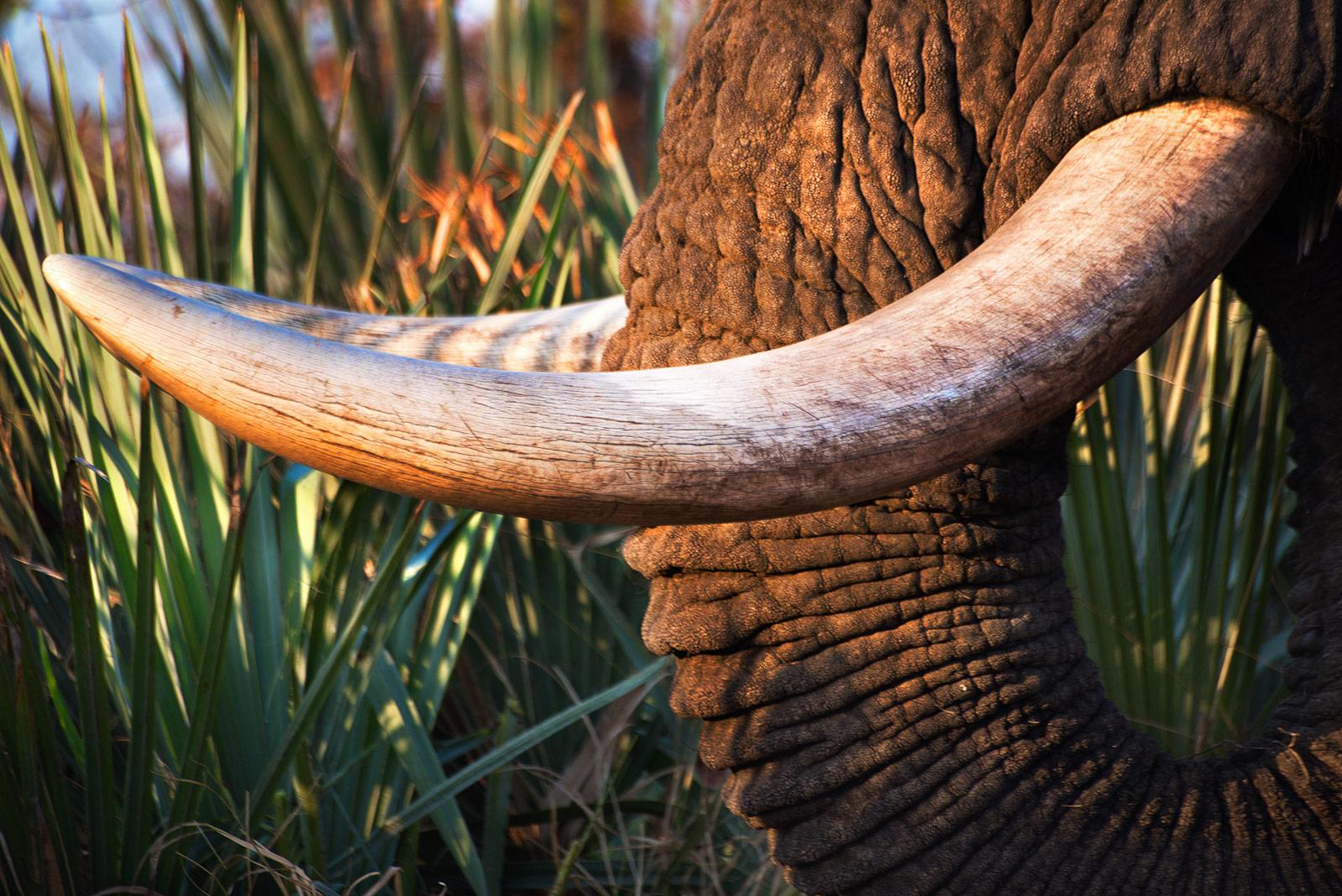 elephant-tusk