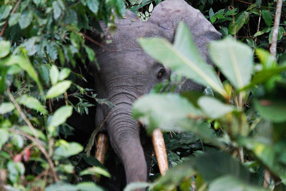 forest-elephant-gabon