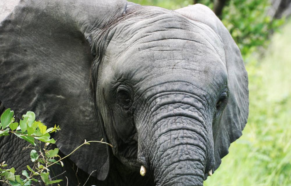 small-elephant