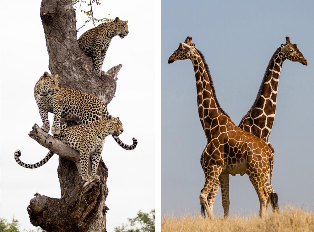 Timbavati-Greater-Kruger-Christof-schoeman-and-giraffe-Markus-Eichelberg