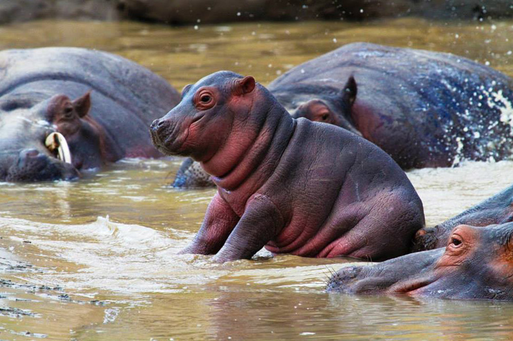 baby-hippo-Omesh-A.-Motiwall
