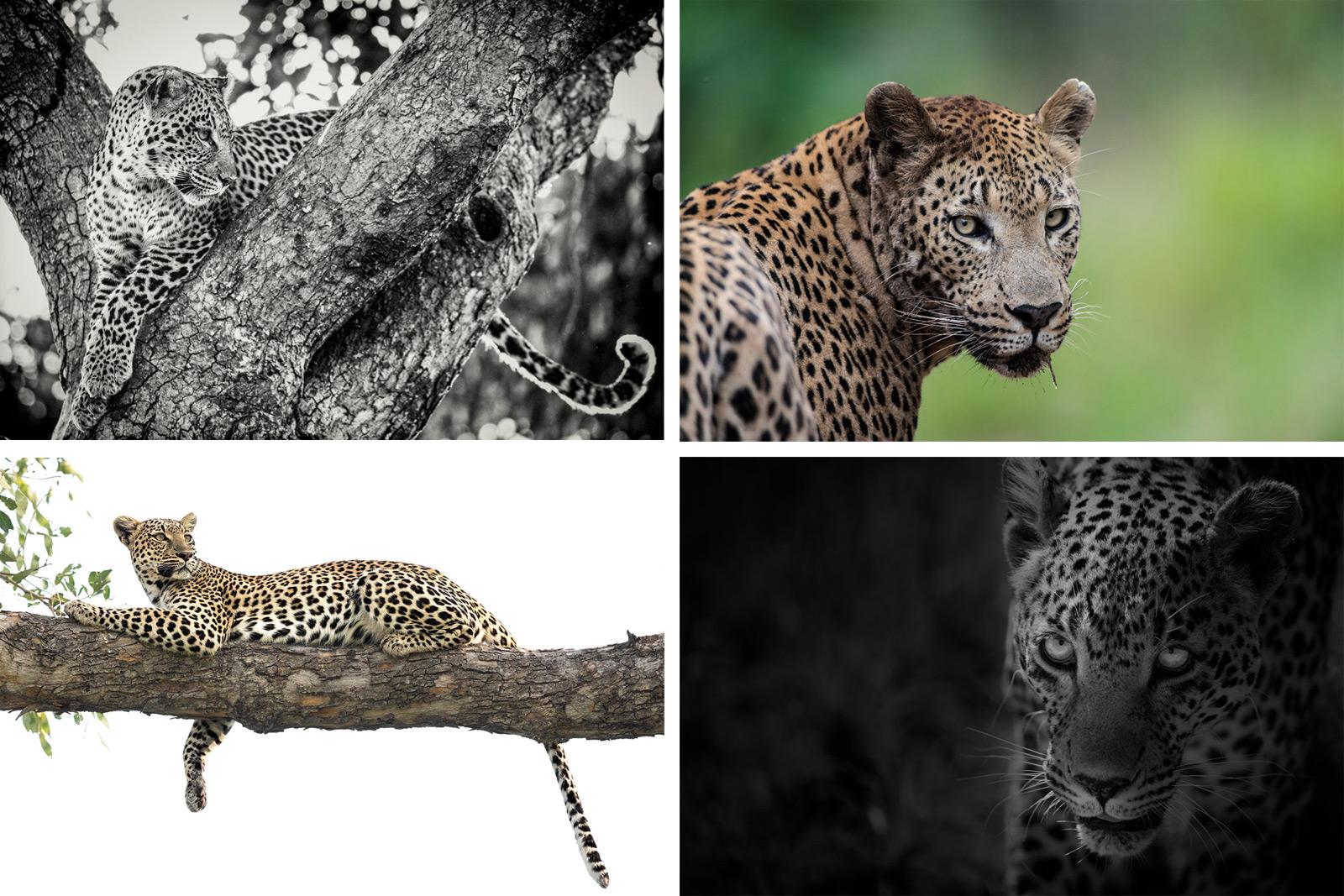 leopard-comp
