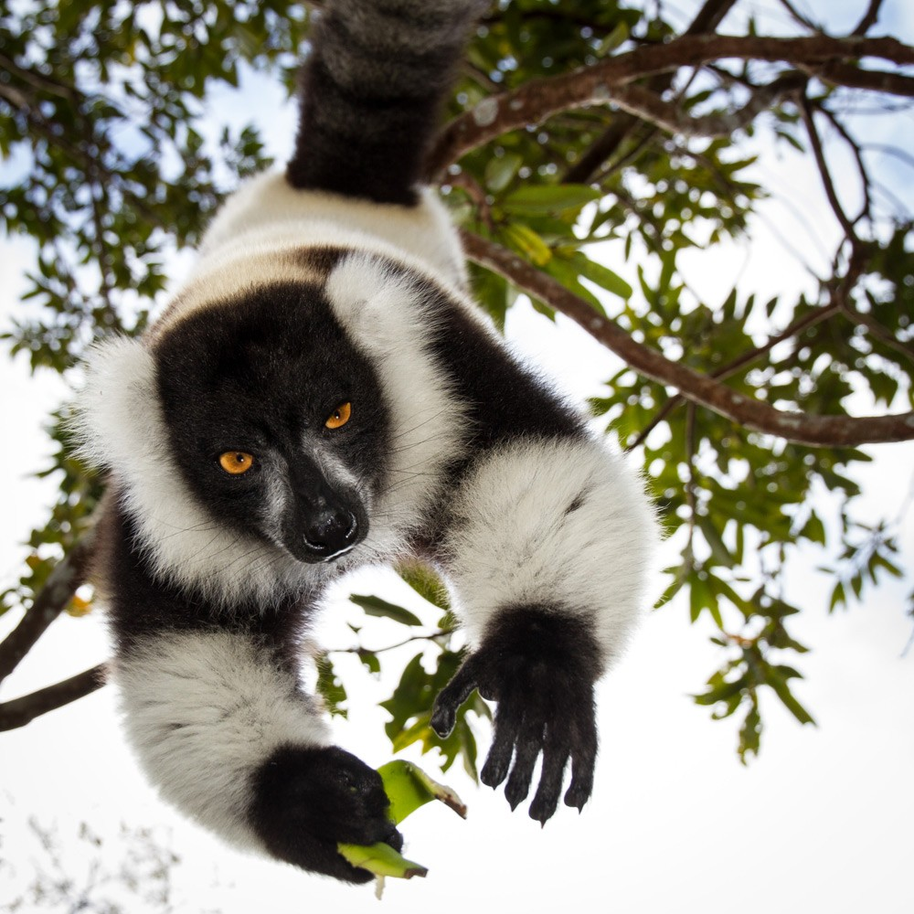 Black-and-White-Ruffed-Lemur---Alison-Buttigieg