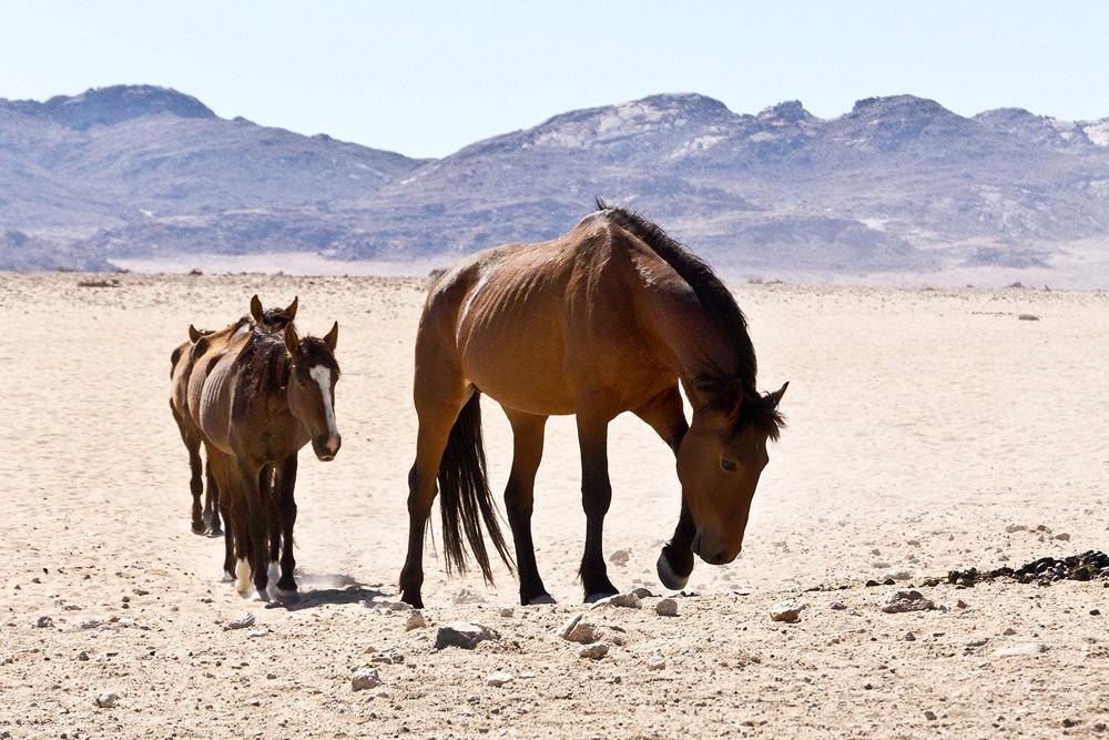 Kexic-desert-horses