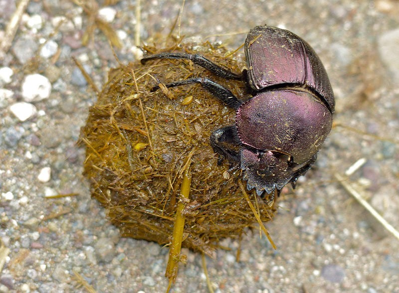 Large_Copper_Dung_Beetle_Bernard DUPONT